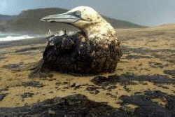 Aquatic Bird soaked in Oil