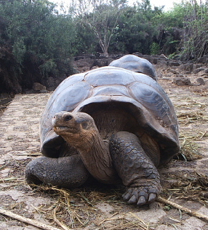 Turtle from Galápagos