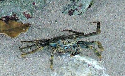 Barbados Beach Crab