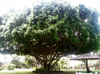 Large Tropical Tree